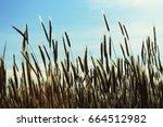ripe wheat in the field under... | Shutterstock . vector #664512982