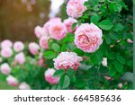 Stock photo background of rose bushes 664585636