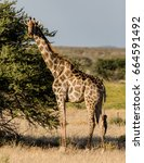 giraffe next to the tree in... | Shutterstock . vector #664591492