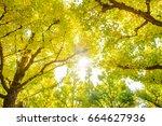 ginkgo trees in jingu gaien...   Shutterstock . vector #664627936
