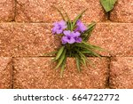 Small photo of Ruellia simplex (wild petunia, Mexican petunia, Mexican bluebell) a species of flowering plant in the acanthus family, Acanthaceae. Growing from cracks in stone wall.