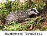 badger in forest creek.... | Shutterstock . vector #664835662