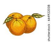 orange fruits sketch. vector...   Shutterstock .eps vector #664922038