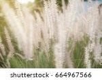 soft focus of grass flower... | Shutterstock . vector #664967566