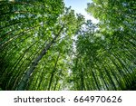 mangrove trees in forest at can ... | Shutterstock . vector #664970626
