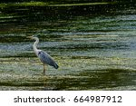 Great Blue Heron Standing On A...