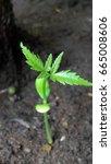 Small photo of Neemu plant