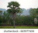 sugar palm trees in field   Shutterstock . vector #665077636
