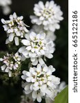 Small photo of Closeup of Beautiful white alysium flowers