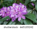 amazing rhododendron flowers.... | Shutterstock . vector #665135242