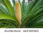 King Sago Palm With A Male...