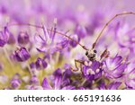 Small photo of Longhorn beetle, Allium, close-up.