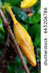 Small photo of Allamanda cathartica