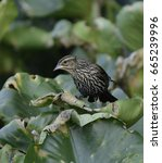 Small photo of This recently fledged Red-Winged Blackbird (Agelaius phoeniceus) is foraging for food on lily pads in a pond in Carroll County Maryland USA, in left profile, looking down..
