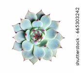Echeveria Succulent Plant On...