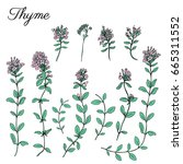 thyme branch flower hand drawn...   Shutterstock .eps vector #665311552