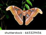 atlas moth attacus atlas   Shutterstock . vector #665329456