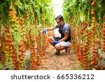 farmer collects cherry tomatoes ... | Shutterstock . vector #665336212