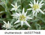 fresh edelweiss flowers | Shutterstock . vector #665377468