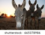 Three Donkeys At Sunset.