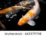 Koi Carp  Japanese Big Fish ...