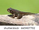 wood frog  rana sylvatica ... | Shutterstock . vector #665407702