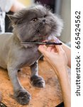 Cat Grooming In Pet Beauty...