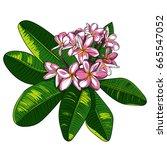 illustration with plumeria... | Shutterstock .eps vector #665547052