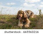 english show cocker spaniel...   Shutterstock . vector #665563216