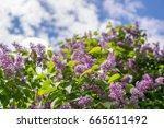 blooming lilacs in the garden....   Shutterstock . vector #665611492