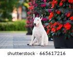 english bull terrier dog posing ... | Shutterstock . vector #665617216