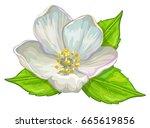 jasmine flower.   Shutterstock .eps vector #665619856