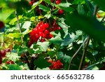 Fruits Of Red Currants