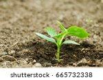 cucumber growing in a... | Shutterstock . vector #665732338