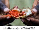 open achiote seed pod from the... | Shutterstock . vector #665767906
