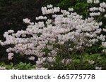 white flowers on royal azalea | Shutterstock . vector #665775778
