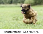 nine month old briard dog in... | Shutterstock . vector #665780776