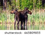 Small photo of A bull and cow moose standing in shallow waters