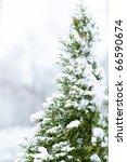 Pine Tree In Snow   Shallow Dof