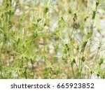Small photo of Aegilops geniculata, spike of ovate goatgrass. Tops of flowering plants. Herb background