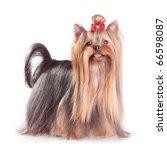 Yorkshire Terrier In Show Coat...