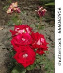 Cluster Of Bicolor Roses With...