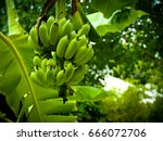 the banana is a fruit that is... | Shutterstock . vector #666072706