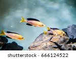 """Small photo of Cichlid from Tanganyika Lake in Tanzania, Africa. Cyprichromis sp. """"Leptosoma Jumbo"""" (Tricolor)"""