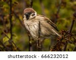 Small photo of Tree Sparrow. Smaller than a house sparrow with its tail almost permanently cocked. It has a chestnut brown head and nape and white cheeks and collar with a contrasting black cheek spot.