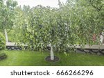 Dwarf Weeping Birch  Use In...