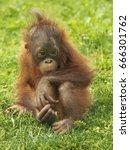 Little Orangutan Puppy Sitting...