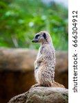 meerkat  suricata suricatta ... | Shutterstock . vector #666304912