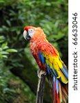 scarlet macaw | Shutterstock . vector #66633046