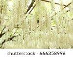 white wisteria at ashikaga...   Shutterstock . vector #666358996
